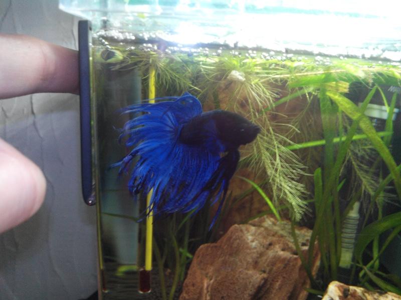 [ Mâle Crowntail bleu] Le plus beau des cadeaux de Noël .... Betta113