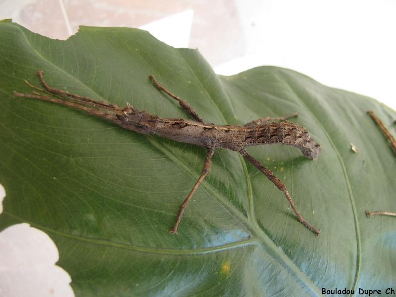 Lamponius lethargicus (PSG ?) Img_0511