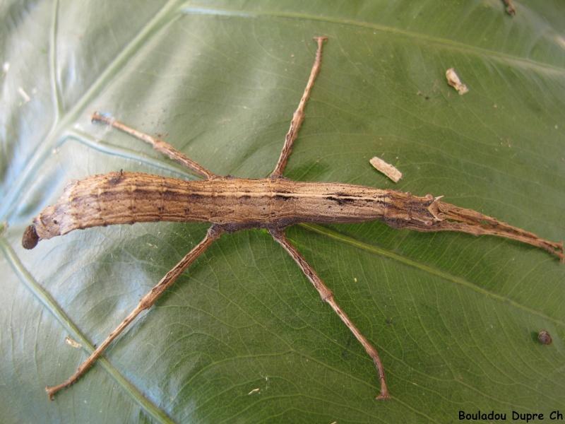 Lamponius lethargicus (PSG ?) Img_0513