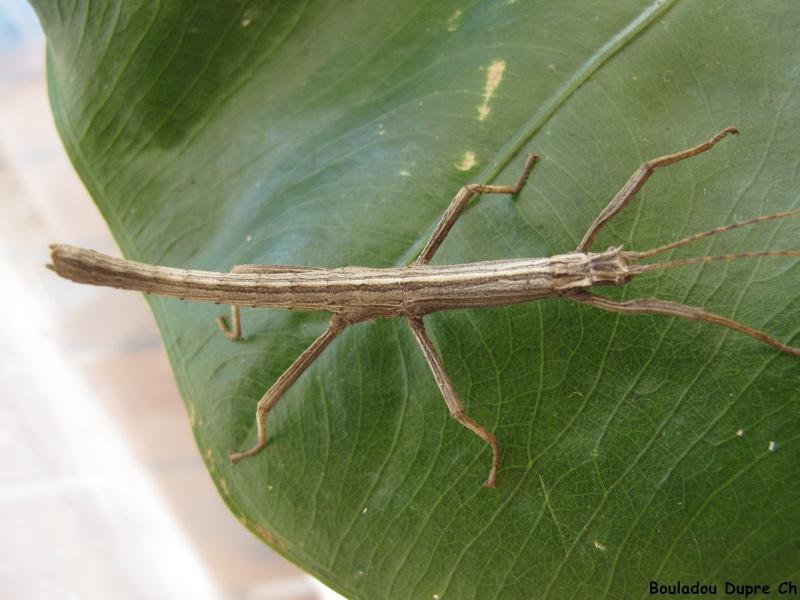 Lamponius lethargicus (PSG ?) Img_0514