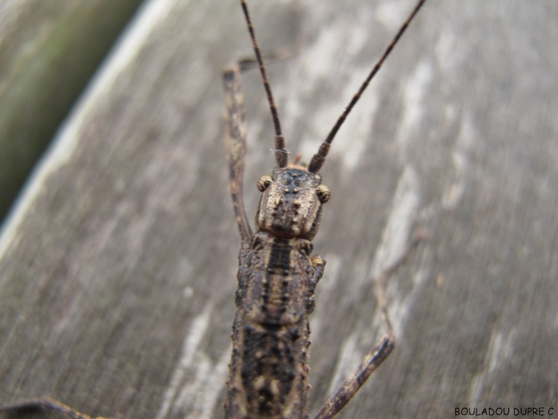 Periphloea santara Img_0711