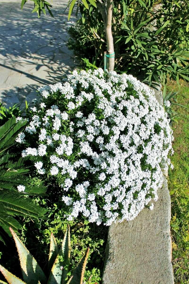 Iberis semperflorens - ibéris toujours fleuri Iberis10