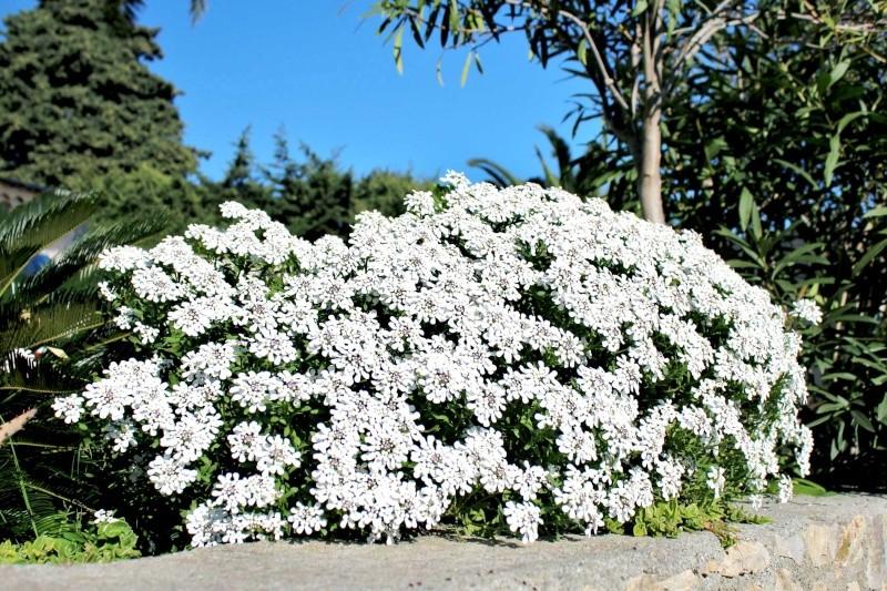 Iberis semperflorens - ibéris toujours fleuri Iberis11