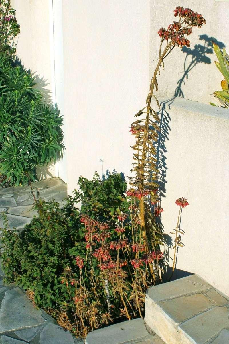 Bryophyllum x houghtonii (= Kalanchoe x houghtonii- Kalanc11