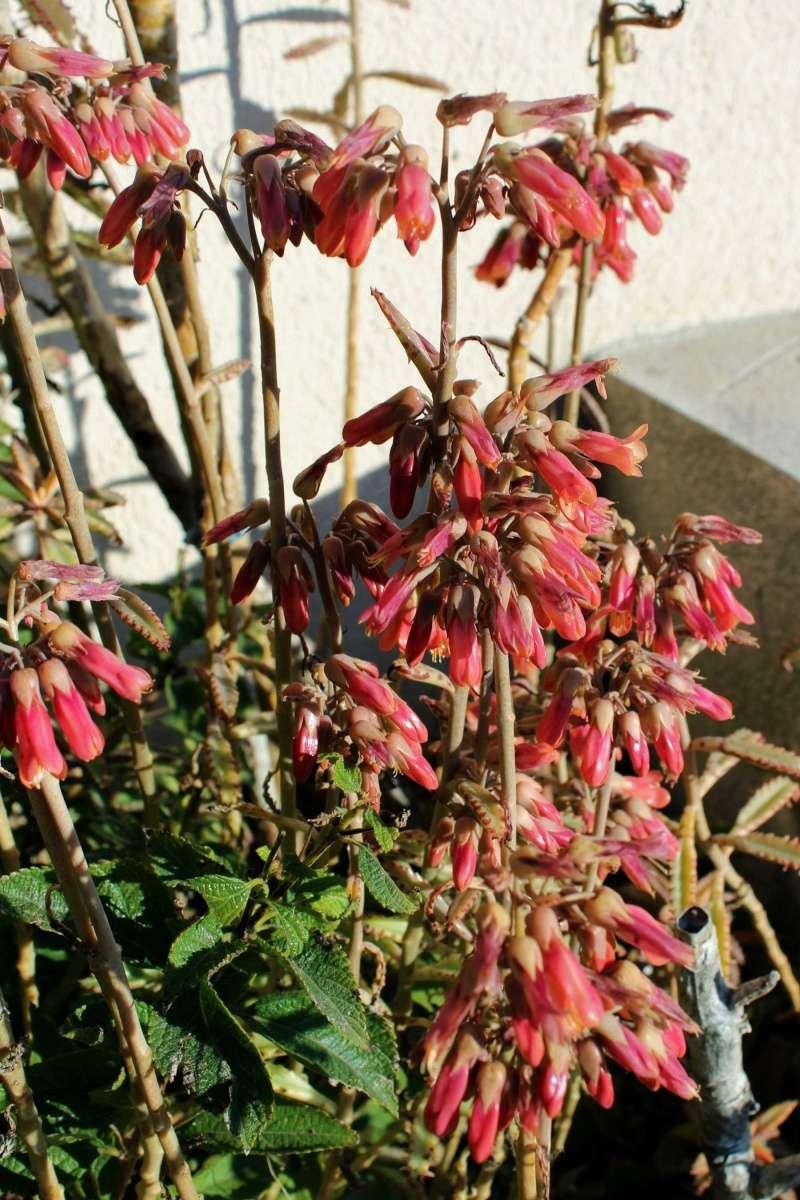Bryophyllum x houghtonii (= Kalanchoe x houghtonii- Kalanc13