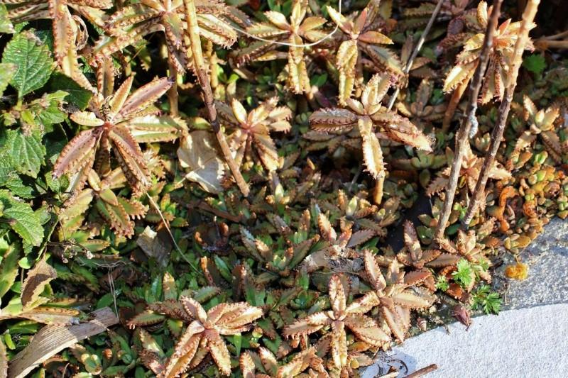 Bryophyllum x houghtonii (= Kalanchoe x houghtonii- Kalanc14