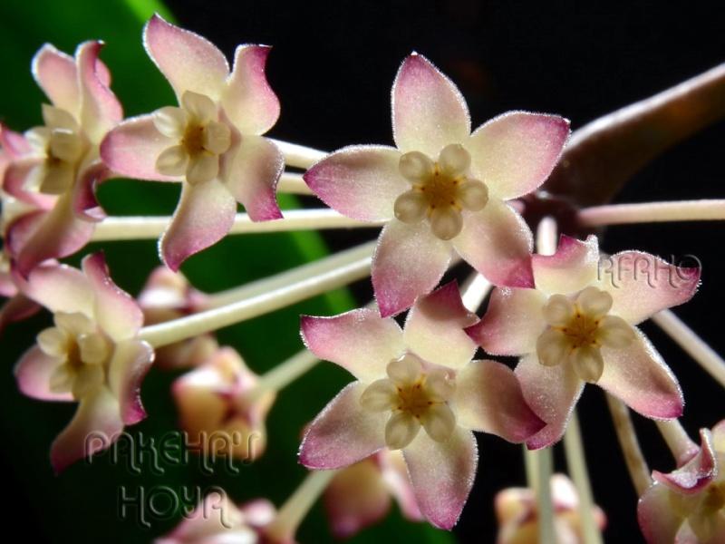 Hoya polystachya Dsc_5812