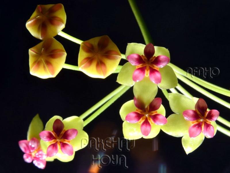 Hoya soligamiana Dsc_5910