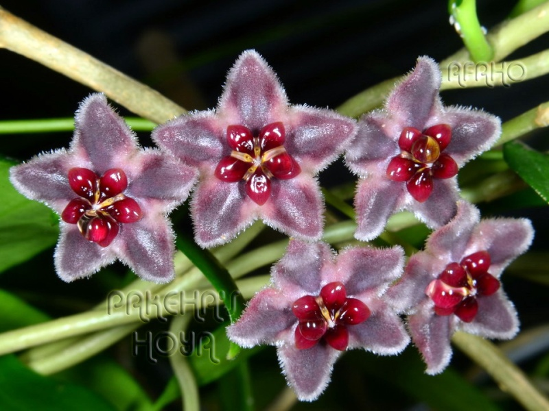 Hoya globulifera (& H lamingtoniae) Dsc_6010