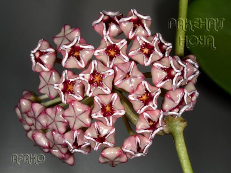 Hoya meliflua ssp fraterna (& ssp meliflua) Dsc_8716