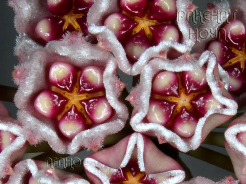 Hoya meliflua ssp fraterna (& ssp meliflua) Dsc_8717