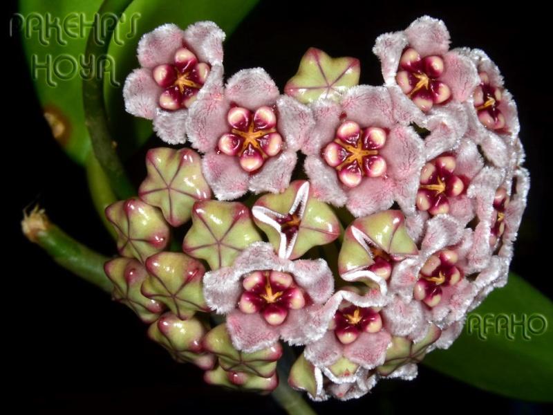 Hoya meliflua ssp fraterna (& ssp meliflua) Dsc_8810