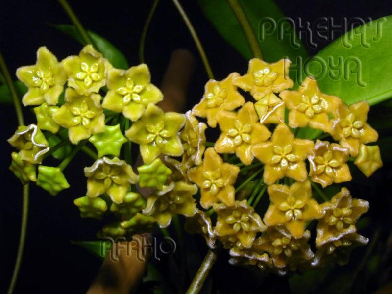 Hoya ischnopus & dischorensis & kenejiana Img_0311