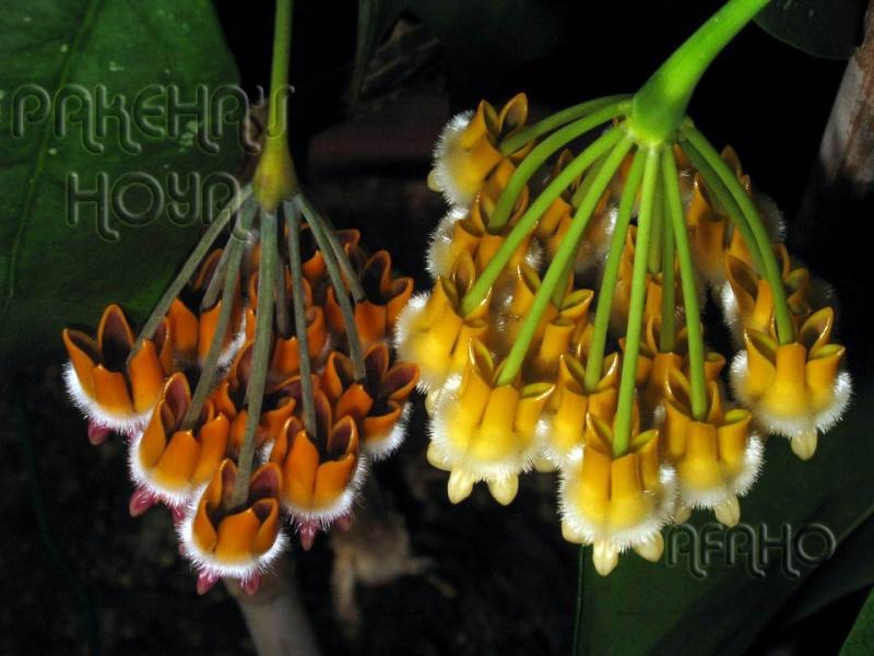 Hoya lasiantha & praetorii Img_1510