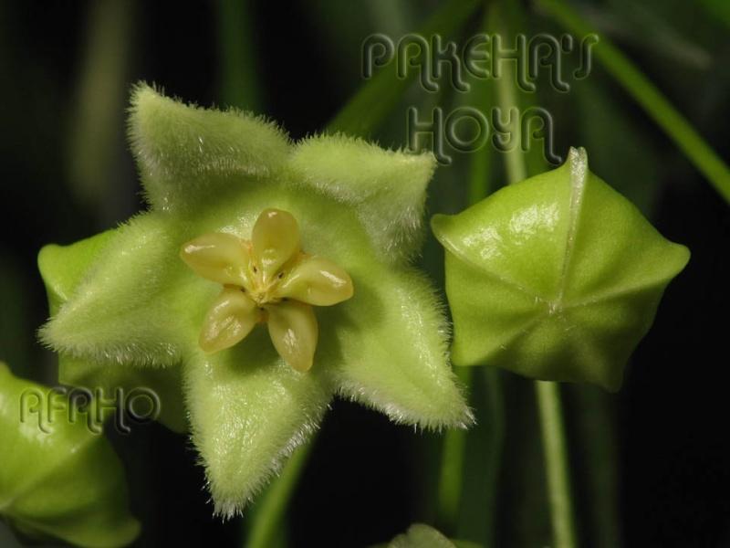 Hoya chlorantha - inghetata cu fistic Img_2210