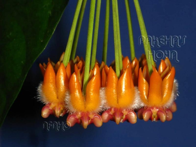 Hoya lasiantha & praetorii Img_4018
