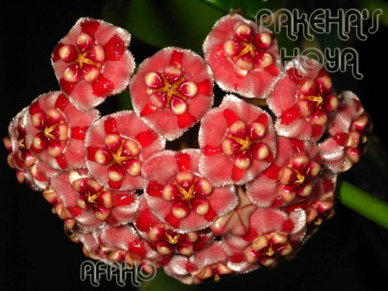 Hoya meliflua ssp fraterna (& ssp meliflua) Img_4610
