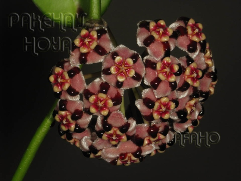 Hoya meliflua ssp fraterna (& ssp meliflua) Img_6012