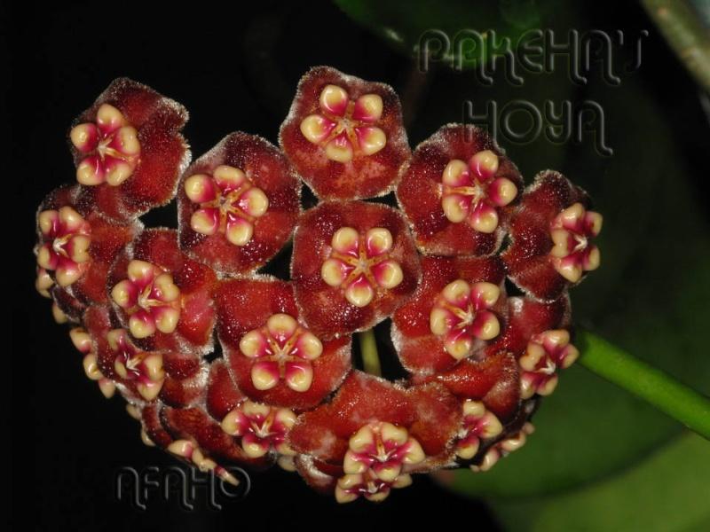 Hoya meliflua ssp fraterna (& ssp meliflua) Img_6412