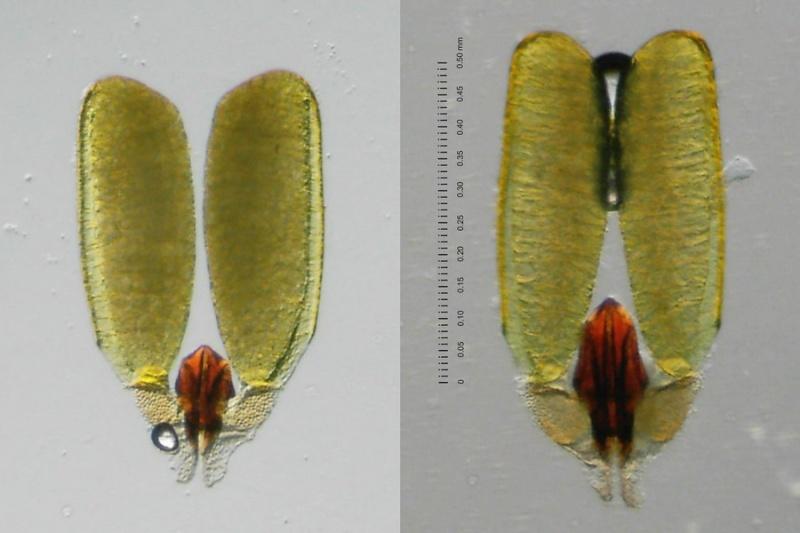 Hoya sp. DMC 5655B Thailand IML 1398 Poll-c10