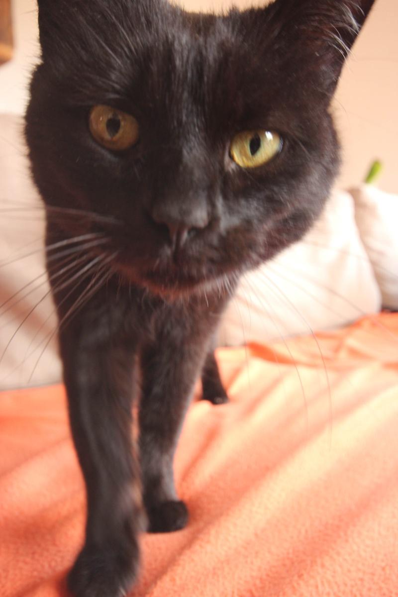Trouvée chatte noire à Colomiers - En Jacca Ok10