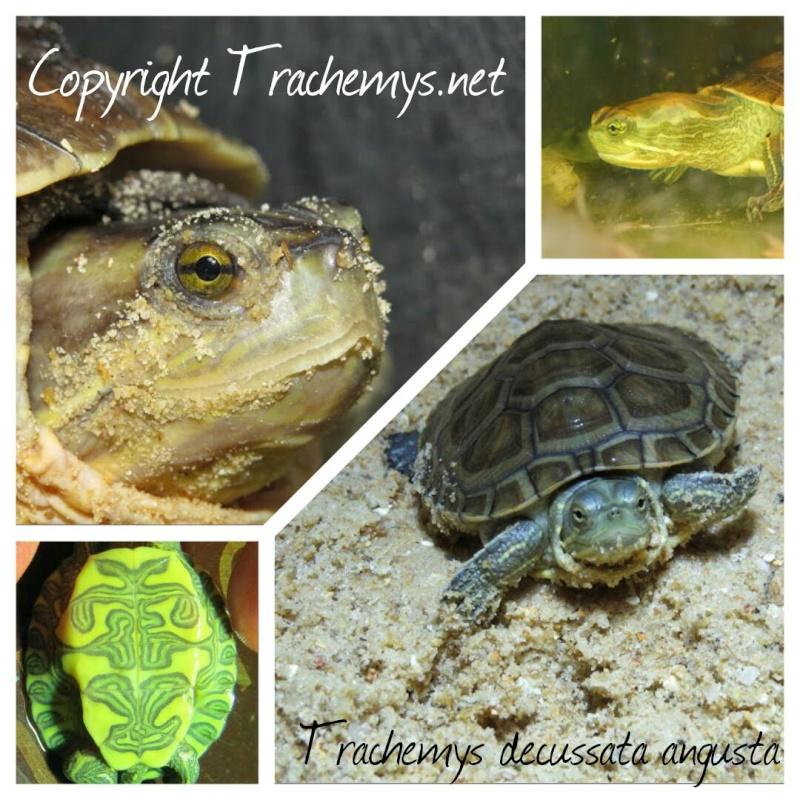Trachemys decussata angusta 2014-110