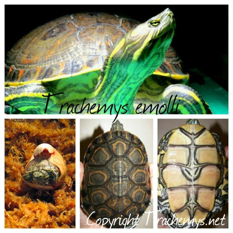 Trachemys emolli 2014-112