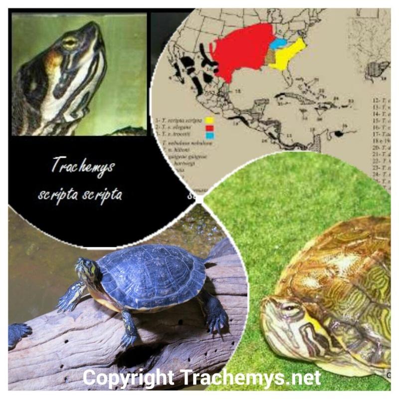 Trachemys scripta scripta 2014-116