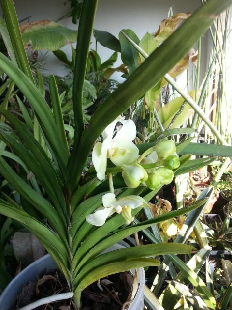 Ascocenda white 20150213