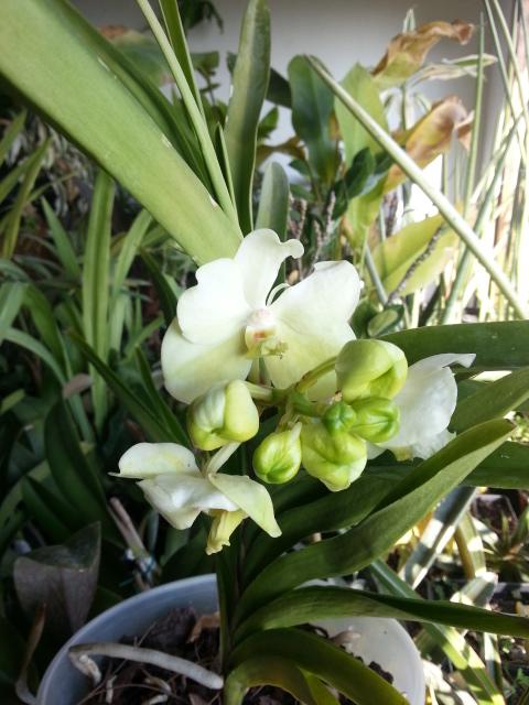 Ascocenda white 20150214