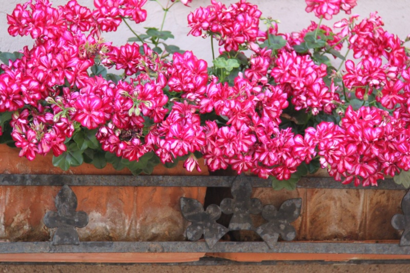 Fleurs de Wangen 2013 Img_9759