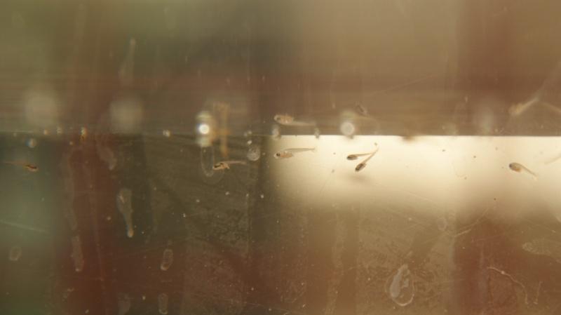 Betta splendens : HMPK multi X HMPK black lace Dsc07310