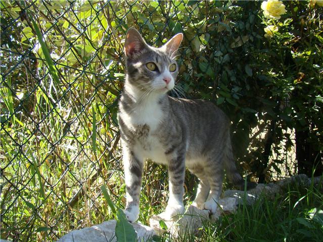 Trouvée à Pibrac, chatte grise tigrée et blanche - 07/07/10 Chatte10