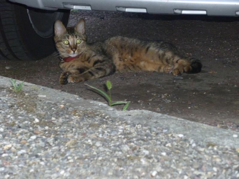 Trouvée à Colomiers chatte tigrée-traces de roux -06/10 P1020110