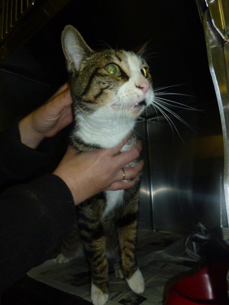Trouvé à Colomiers chat tigré, museau et bout des pattes blancs P1040613