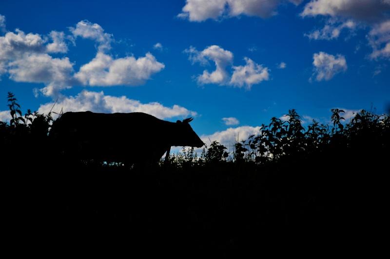 Vache en ombre chinoise  Dsc_0014