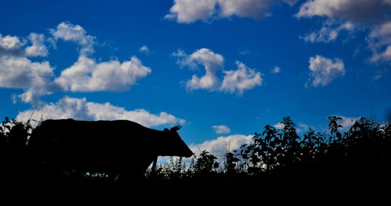 Vache en ombre chinoise  Dsc_0017