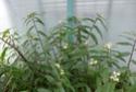 TRIPOGANDRA cumanensis  ( F.des Commelinaceae = misères ) P1090010