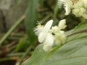 TRIPOGANDRA cumanensis  ( F.des Commelinaceae = misères ) P1090011