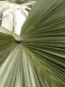 LIVISTONA rotundifolia  P1090319
