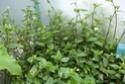 TRADESCANTIA viridis  P1090418