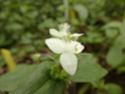 TRADESCANTIA viridis  P1090419