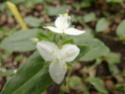 TRADESCANTIA viridis  P1090420
