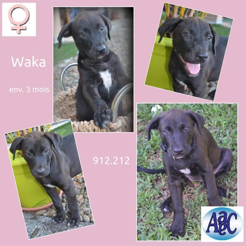 Waka 3mois ( croisé labrador) 10921910
