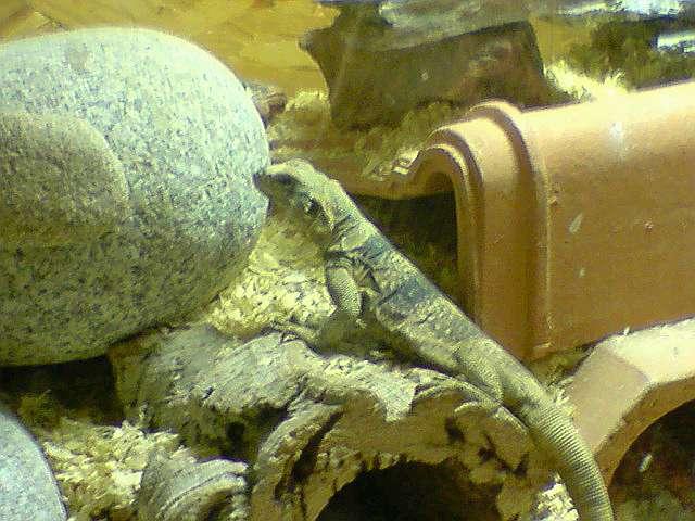 Projet naissance bébés sauromalus obesus P2911010