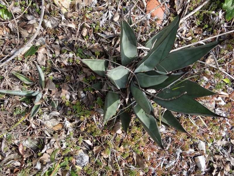 Agave nigra (Agave x nigra) Dsc03112
