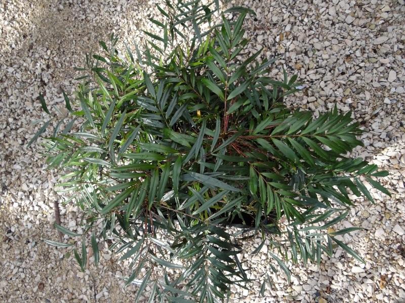 Mahonia eurybracteata - Page 2 Dsc03113