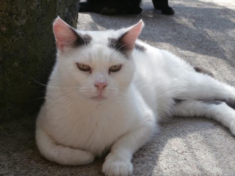 NEILS (européen blanc queue grise) P7160212