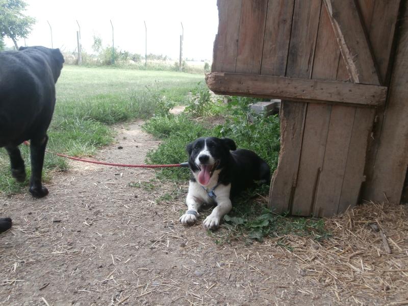 YOOPY (femelle croisée beagle) P7200015