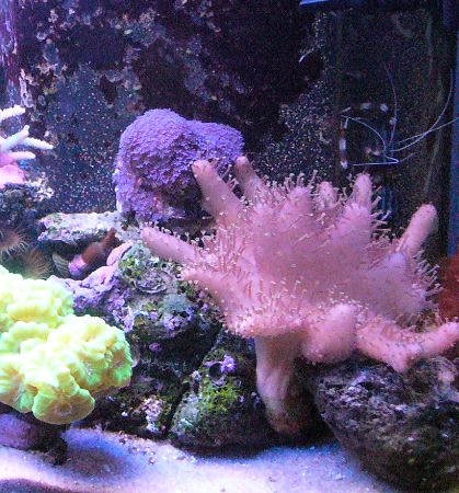 Les coraux d'Alice Carroll Sensib11